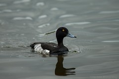 Tufted duck (Aythya fuligula) (Allan Dean Photography) Tags: eos canon water tufted tuftedduck wildlife wildanimals river