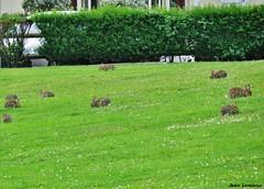Deauville - Boulevard Eugène Cornuche (JeanLemieux91) Tags: deauville bassenormandie normandie france lapin rabbit conejo lièvre liebre bunny pelouse grass gazon césped