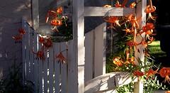 Backyard Lilys (~nevikk~) Tags: backyard orangelilys fridaymisc852016 orangeblooms kevinkelly morninglight shadows whitefence trellis