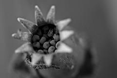 seed capsule (notpushkin) Tags: seed samen kapsel capsule