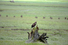 YOUNG BALD EAGLE LEARNING TO HUNT  -  (Selected by GETTY IMAGES) (DESPITE STRAIGHT LINES) Tags: nikon d800 nikond800 nikkor200500mm nikon200500mm nikongp1 paulwilliams despitestraightlines flickr gettyimages getty gettyimagesesp despitestraightlinesatgettyimages snow snowcappedmountains snowymountains nature mothernature silence serenity landscape sunlight glacier bearglacier bearglacierbc bearglacierbritishcolumbia bearglacierstewart eagle eagles baldeaglechicks baldeagles