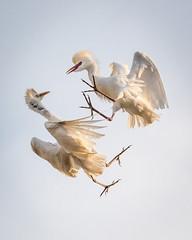 Bird Category (karenmelody) Tags: animal animals ardeaalba ardeidae bird birds egret egrets greategret pelecaniformes southafrica vertebrate vertebrates