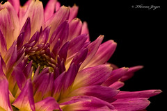 Architecture of Attraction 0812 Copyrighted (Tjerger) Tags: nature attraction black blackbackground bloom closeup detail flora floral flower green macro petals pink plant portrait purple summer wisconsin yellow much architechture natural