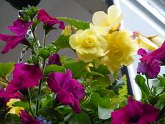 Begonias and Petunias ! (Mara 1) Tags: begonias yellow purple petunias outdoors flowers plants green leaves