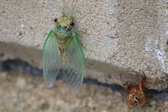 Drying out (D Clay Wilson) Tags: insect cicada spider web skin molt bug
