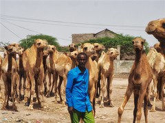 Camel Market Hargeisa Somaliland (Clay Gilliland) Tags: somaliland hargeisa youngpioneertours camel market africa trave tour