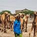 Camel Market Hargeisa Somaliland