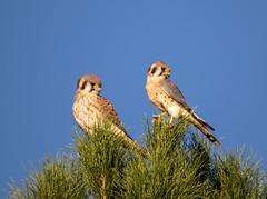 American Kestrel (gilamonster8) Tags: raptor kestrel pray falcon arizona pair couple