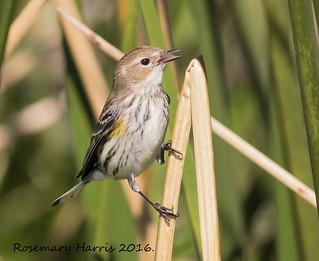 Yellow-rumped Warbler.(explore)