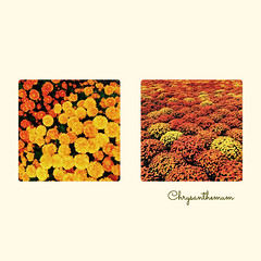 Chrysanthemum (jeanne.marie.) Tags: diptych orange iphone5s iphoneography flowers autumn fall chrysanthemum 100xthe2016edition 100x2016 image96100