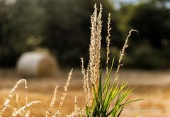 Harvest Bokeh (robinta) Tags: depthoffield ks1 grass bokeh field outddor bale hay landscape focus colour warmth agriculture crop outdoor sigma18200mmhsmc cleadon farming