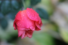 Pink Rose and Raindrops.  Available for purchase on Shutterstock (CCphotoworks) Tags: nature pink flower bokeh pinkrose rose