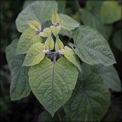 greener greens (PIKTORIO) Tags: berlin germany foliage leaves lookingdown garden id lightgreen transition piktorio green