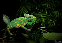 Veiled Chameleon (Nick Scobel) Tags: veiled chameleon chamaeleo calyptratus florida everglades exotic invasive species bright colorful wide angle habitat green orange macro nature
