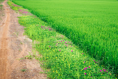 Wild flowers and paddy field in Vietnamese countryside (minhty0602) Tags: wildflowers wildflower vietnamesenature vietnamesewildflowers vietnameseflowers vietnamesecountryside vietnam paddyfield rice ricefield flowers flower nature naturalflower countrysideroad country agriculture nonurbanscene vietnameseagriculture countrysideview pentax pentaxdslr pentaxcamera pentaxk3 pentaxdigitalcamera sigma sigmalens sigma1750