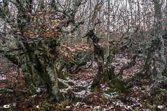 4679 A Hayedo de la Pedrosa (carlostorrebenito) Tags: arboles caduca h hojas liquenes musgo nieve otoo trees deciduous leaves lichens moss snow autumn