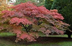 2016_10_17_Westonbirt_Acer (Bohpix) Tags: westonbirt arboretum gloucestershire uk tetbury acer autumncolours bohpix canoneos5dmkiii ef2470mmf28liiusm paddybohan 17october2016