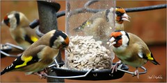 Free For All - Goldfinches, Bangor, Northern Ireland (BangorArt) Tags: goldfinch finch bird cardueliscarduelis fringillidae bangor countydown ulster northernireland paulanderson bangorart