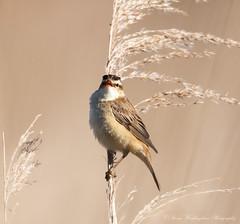 Sedge Warbler (steven waddingham) Tags: bird wild british nature rspb song