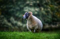 2016-10-22_10-58-53 (Innerleithen man) Tags: sheep wool hdr sigmalens sigma120400mm snapseed nikon nikond5100 scottishborders