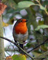 robin (alpenfrankie) Tags: canon eos 1100d animals wildlife bird nature ywt robin reserve colour
