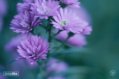 2 (tannguyendp) Tags: purple september fall garden nature pink ourdoor retouch tannguyen gio macro depth latesummer vietnam amazing sky green windy rose