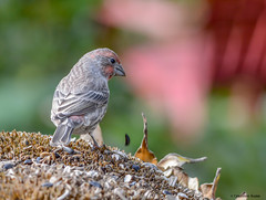 House Finch - male (Summerside90) Tags: birds birdwatcher housefinchmale october fall autumn backyard garden sunflower nature wildlife ontario canada