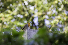 Little Robin (pshunter93) Tags: robin bird wildlife stirling outdoors perched autumn day sunshine