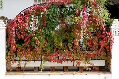 Otoo en el numero 12 (Micheo) Tags: autumn otoo fall season temporada parra red rojo warm parthenocissusquinquefolia college virginiacreeper parravirgen hojas leaves casa home 12