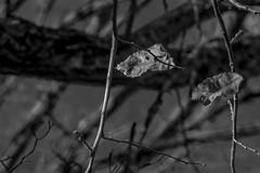 autumn leaves, dried, branches, looking up, Asheville, Nikon D40, DeJUR 135mm f-2.8, 11.21.14 (steve aimone) Tags: autumn blackandwhite tree monochrome leaves asheville branches monochromatic lookingup driedleaves primelens dejur treeforms nikond40 dejur135mmf28