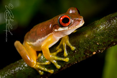 Duellmanohyla rufioculis (Rob Schell Photography) Tags: rainforest costarica stream amphibian frog perched treefrog centralamerica arboreal guayacan anura hylidae anuran toepad crarc iucnleastconcern duellmanohylarufioculis redeyedstreamfrog costaricanamphibianresearchcenter limonprovence