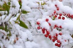 fluffy snow (snowshoe hare*(slowly catching up)) Tags: snow kyoto shrine berries 京都 雪 下鴨神社 南天 shimogamoshrine nandinadomestica heavenlybamboo ナンテン dsc9243