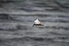 Bird Seagull - طائر النورس (! FOX) Tags: bird seagull 7d ahmad panning أحمد a7mad a7med طائر النورس 5ain