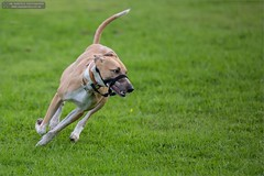 Ginny (Ian Garfield - thanks for over 1 Million views!!!!) Tags: rescue dog playing dogs ian photography lulu canine whippet agility garfield ginny walsall lurcher halti wednesfield