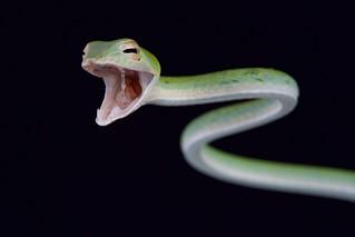 Vine snake / Ahaetulla nasuta