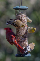 Feisty (zxgirl) Tags: bird birds animal animals goldfinch feeder aves finch finches va 7d 100400mm animalia cardinals americangoldfinch songbird cardinaliscardinalis goldfinches redbird fringillidae cardinalis arkendale northerncardinal noca passeriformes passerine chordata spinus cardinalidae amgo greatbackyardbirdcount gbbc wildcanary commoncardinal easterngoldfinch img1155 spinustristis taxonomy:binomial=cardinaliscardinalis taxonomy:binomial=spinustristis gbbc2015