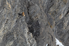 Bartgeier Gemmipass 02.01.15 8 (Dario Antonaci) Tags: bird schweiz switzerland wildlife vulture bartgeier lammergeier beardedvulture