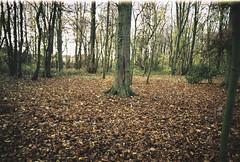 Knavesmire Woods (Matthew-King) Tags: knavesmire woods york trees brown leaves leafy nikon f50 35mm film analogue
