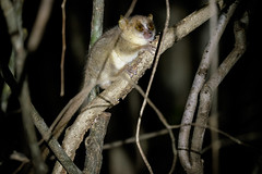 Golden Brown Mouse Lemur