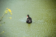 Black swan - Czarny abd (irena iris szewczyk) Tags: lake black water swan pond waves wind wrinkles irenairisszewczyk