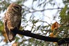 Spotted Owl (India from my Lens) Tags: india birds photography wildlife birdphotography wildlifephotography