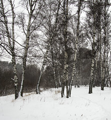 BAZ_5847jpg (BazIli2013) Tags: winter snow landscape birch