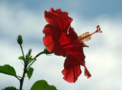 Scarlet (vgphotoz) Tags: blue sky flower green nature clouds scarlet nikon hibiscus nikkor marculescueugen vgphotoz
