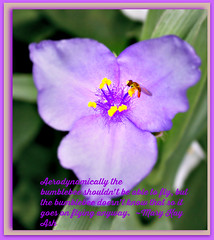 Poetography week #112 (Lynn English) Tags: flower lavender bee poetography