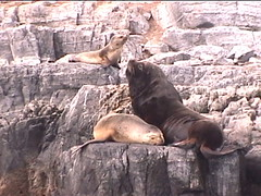 A Bull Sea Lion in Charge