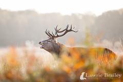 Mouth Mist (LawrieBrailey) Tags: park morning red wild urban mist male sport photography early photo nikon stag wildlife breath sigma os richmond deer f28 d3 lawrie 120300 brailey