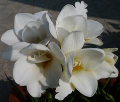 Freesie (shumpei_sano_exp8) Tags: flowers flores fleurs blumen fiori freesia millefiori freesie masterphotos pizzodisevo mosfotogarten floweria