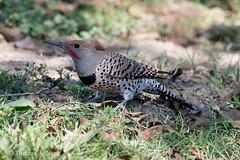Northern Flicker (Tom Nord) Tags: bird flicker northernflicker whittiernarrows whittiernarrowsnaturalarea