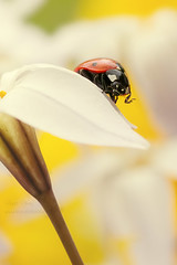 There's a lot of beauty in ordinary little things... (leavesnbloom photography by Rosie Nixon) Tags: red flower detail macro nature ecology face animal closeup insect outdoors scotland spring flora looking beetle front petal extremecloseup ladybird ladybug antenna entomology coleoptera singleflower gardenplant ipheionuniflorum springstarflower coccinella triteleia elytra sevenspot coccinella7punctata colourimage colouredbackground predominantbrownwhite