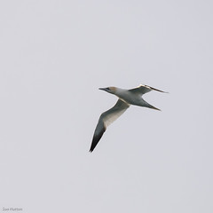 Northern Gannet (Sue_Hutton) Tags: winter island iceland boattrip seabird snfellsnes northerngannet grundarfjrur grundarfjord lkitours february2015 kolgrafafjord